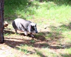 rosco-the-guard-pig_36679990676_o